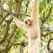 White-handed gibbon hanging in the trees — Stock Photo