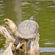 Turtle sleeping on wood over the water — Stock Photo