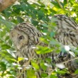Two hidden ural owls at the top of the tree — Stock Photo