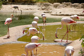Group of greater flamingos drinking some water — Stock Photo