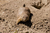 Cute marmot playing on the ground — Stock Photo