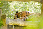 Cute siberian tiger sleeping during the day — Stock Photo