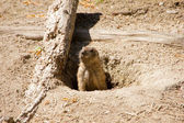 Marmot looking out of the hole in the ground — Stock Photo