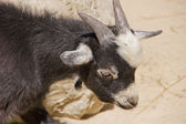Young domestic goat looking at something — Stock Photo