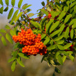 Stock Photo: Mountain-ash with some red pomes