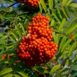 Stock Photo: Some fruits of sorbus aucuparia