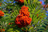 Some fruits of sorbus aucuparia — Stock Photo