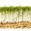 Fresh garden cress on white background — Stock Photo