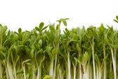 Close-up of fresh garden cress — Stock Photo