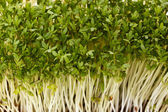 Close-up of healthful garden cress — Stock Photo