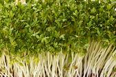 Close-up of healthful garden cress — Stock Photo