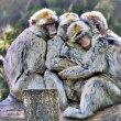 Barbary macaques — Stock Photo #47348427