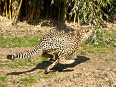 Fast cheetah — Stock Photo