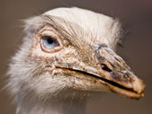 White rhea — Stock Photo