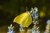Citron (Gonepteryx rhamni) — Stock Photo