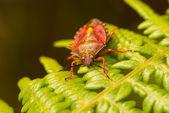 Stink bug — Stock Photo
