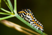 Swallowtail caterpillar — Stock Photo