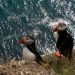 Couple of puffin — Stock Photo