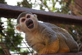 A Squirrel monkey — Stock Photo