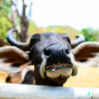 Close up cow's nose in sunny day — Stock Photo