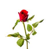 цветок красных роз, изолированные на белом фоне — Стоковое фото