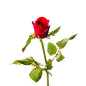 Rode rozen flower geïsoleerd op witte achtergrond — Stockfoto