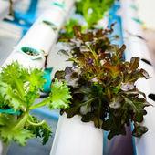 Hydroponicznych warzyw, odżywianie w przyszłości. — Zdjęcie stockowe