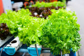Hydroponics Vegetable ,the nutrition in the future. — Stock Photo