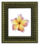 Close up of frangipani flower or Leelawadee flower with vintage — Stock Photo