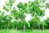 Rubber plantation, South of Thailand — Stock Photo