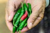 Old Woman holding fresh red chili peppers in her hands — Stock Photo