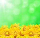 Slunečnice s pozadím krásné léto — Stock fotografie