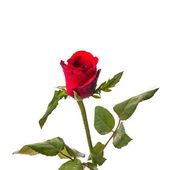 A red rose isolated. — Stock fotografie