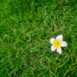 White plumeria flower on green grass. — Stock Photo