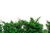 Climbing fig on wall — Stock Photo