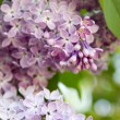 Royalty-Free Stock Photo: Violet lilac