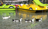 Ducks on the lake Kurnas, the island of Crete, Greece — Stock Photo