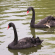 Wounded black swan  with a friend — Stock Photo