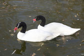 Pair of black necked swans in the autumn lake — Stock Photo