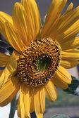 Giant Sunflower — Stock Photo