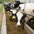 Foto Stock: Dairy Farm