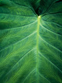 Large Green Leaf — Stock Photo