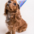 Birthday Puppy Dog — Stock Photo