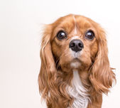 Cavalier King Charles Spaniel Puppy Dog Portrait — Stock Photo