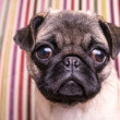 Cute Pug Puppy — Stock Photo
