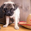 Royalty-Free Stock Photo: Cowboy Pug Puppy