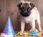 Happy Birthday Pug Puppy Dog — Stock Photo