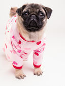 Cute Pug Puppy Wearing Pajamas — Stock Photo