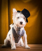 Dog on stage with top hat — Stock Photo