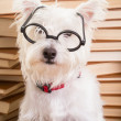 Smart Dog with glasses - Stock Photo
